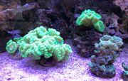 Meerwasser Korallenableger Caulustrea günstig abzugeben