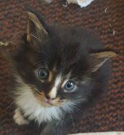 Maine Coon Kitten suchen ein