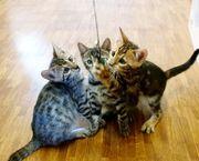 Reinrassige Bengal Cat Kitte zu