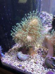 Meerwasser Korallen Ableger Pilzlederkoralle