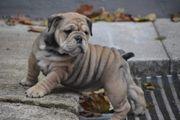 Alternativ-Bulldogge-Welpe