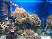 Meerwasser Kupferanemone entacmea sunburst