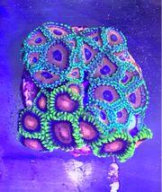Korallen Zoanthus ca 30 Polypen