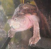 Schildkröte - Wasserschildkröte - Dach-Moschusschildkröte - Sternotherus carinatus