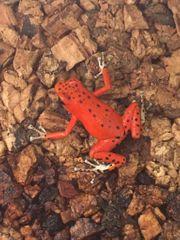 O Pumilio Red Frog Beach