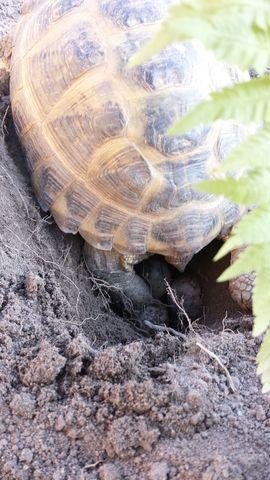 Vierzehen Landschildkröten Testudo Horsfieldii NZ: Kleinanzeigen aus Radeberg - Rubrik Reptilien, Terraristik