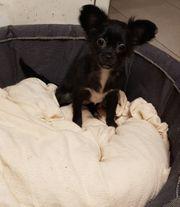 noch 1 Chihuahua Mädel ist