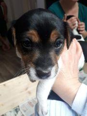 Welpe Parson Jack Russel Terrier