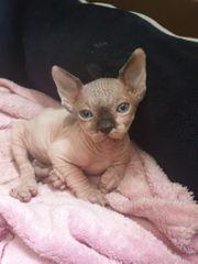 Baby Sphynx Katze