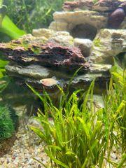 Platy Guppy Fisch Babys abzugeben