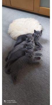 Kartäuser Kitten Chartreux