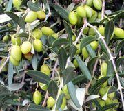 Bestes Olivenöl direkt aus Kreta