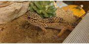 Leopardgecko 2 Weibchen