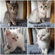 BKH-Kätzchen zu verkaufen