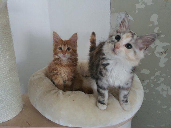 Maine Coon Kitten Katze Kater