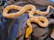lavendel albino netzpython