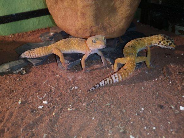 2X Leopardgecko weibchen