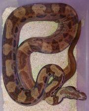 Boa constrictor Hypo Motley het