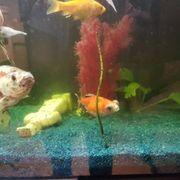 Teleskop augen goldfische und shubukin