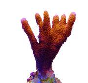 Montipora digitata super red Korallen