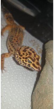 Leopardgecko Weibchen