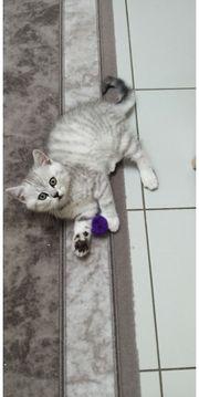 Wunderschöne BKH Kitten mit Stambaum