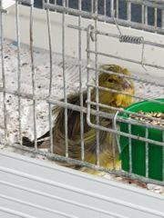 Vögel Kanarienvögel