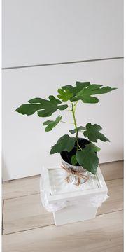 BANANEN pflanze Mini-Bäumchen Die kleine