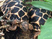 Indische Sternschildkröten NZ 2020 und