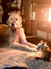 Irischer wolfshund und Riesenpudel