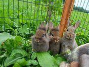 Zwergkaninchen - Kaninchen - Löwenkopf - Zwergrex