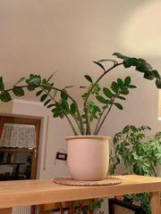 Zimmerpflanze Glücksfeder