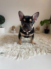 6 wunderschöne Französische Bulldoggen Welpen