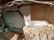 Bengal Katzen mit Stammbaum abzugeben
