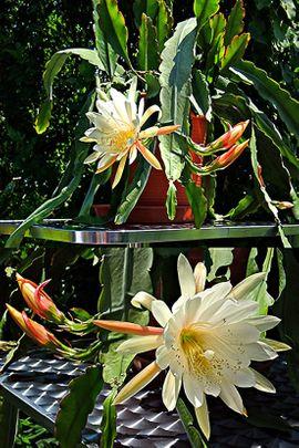 Pflanzen - großer Blattkaktus weiss Epiphyllum Kaktus