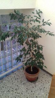 Alter Ficusbaum