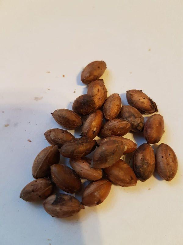Wunderbeeren Samen - Miracle Berry Synsepalum