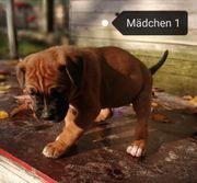 Welpen Boxer Labrador