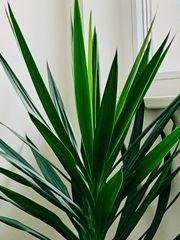 Palme Yucca ca 2 50m