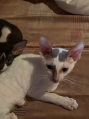 reinrassige Cornish Rex