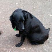 XENA S7 Labrador - unkompliziert ruhig -