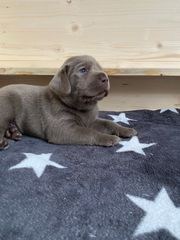 Labrador Welpen dürfen ab sofort