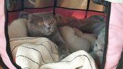 Schottische Faltohrkatze Kitten Scottish Fold