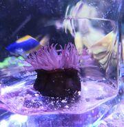 Purpurrosen Actinia equina Meerwasser Salzwasser