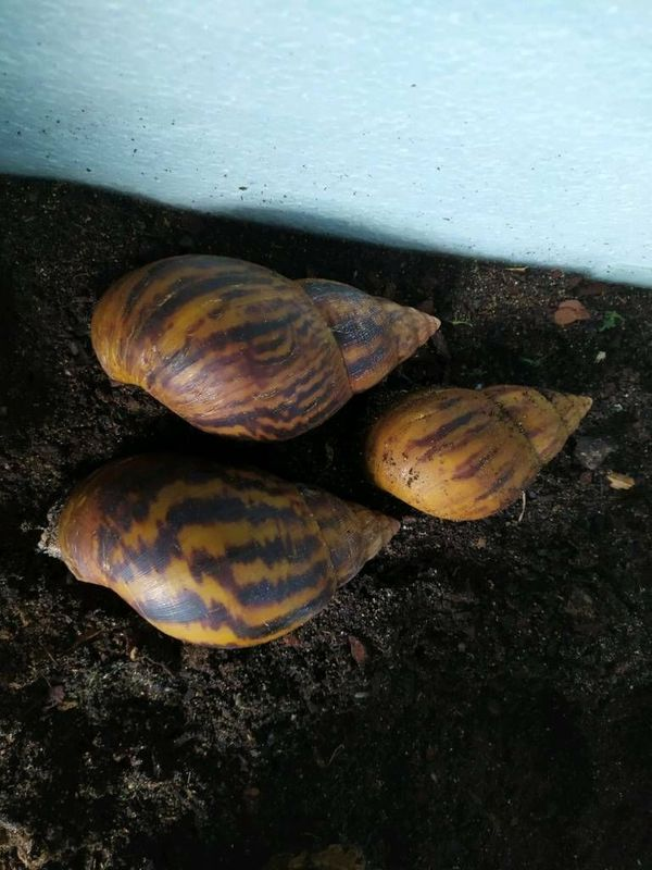3 Achatina Achatinas