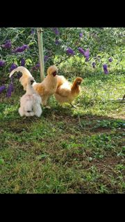 Hahn mit zwei Hennen