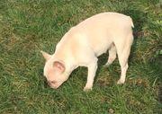 Französische Bulldogge Hündin 2Jahre m