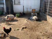 Hängebauchschweine suchen neues Zuhause