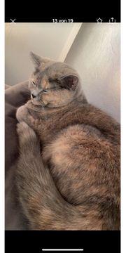 bkh Katzen in liebevolle Hände