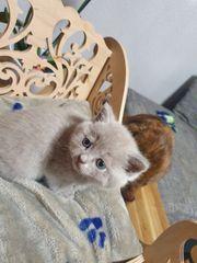 Süße Britisch Kurzhaar Kitten mit